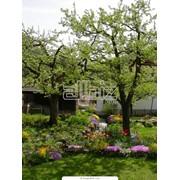 Обрезка веток деревьев Киев, Киевская область, заказать фото