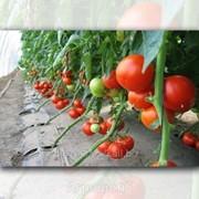 Семена томата Пабло F1. 1000 cемян. SAKATA. Индетерминантный ранний высокоурожайный для пленочных теплиц фото