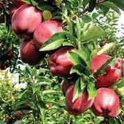 Puieti de pomi fructiferi mere фото