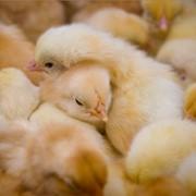 Односуточные цыплята, подрощеные 14-21 день цыплята фото
