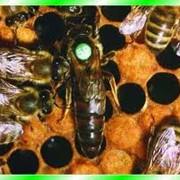 Пчеломатки фото