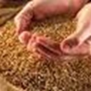 Услуги по чистке, сушке и хранению зерна на элеваторе. фото