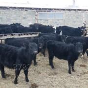 Бычки, телята, нетели, коровы, телки фото