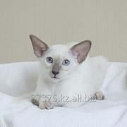 Кошечка сиамская породистая из питомника фото