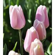 Сорт тюльпана GABRIELLA. Покупать у производителя ВЫГОДНО! фото