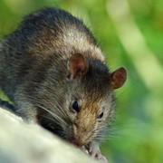 Уничтожение крыс в Алматы, Дезинфекция, дератизация, Дезстанция Надежда и К, ТОО, Как избавиться от крыс фото