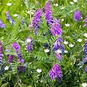 Вика озимая (Vicia sativa) фото