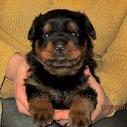 Ротвейлера щенок! фото