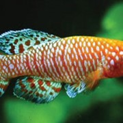 Рыбка аквариумная Нотобранхиус гюнтера фото
