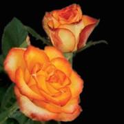 Роза High magic фото