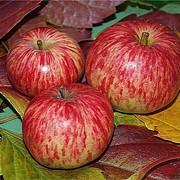 Саженцы яблонь - большой выбор летних, осенних и зимних сортов фото