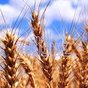 Пшеница, продажа пшеницы, экспорт пшеницы, Костанай фото