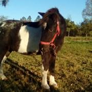Шетлендский пони Ирис фото