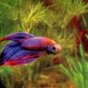 Рыба аквариумная фото