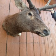 Чучело оленя, карпатского благородного 2 фото