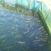 Рыбопосадочный материал (малёк, личинка) фото