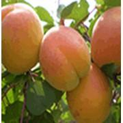 Саженцы абрикоса раннего, среднего, позднего срока созревания фото