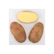 Картофель столовый среднепоздний, сорт Дарница фото