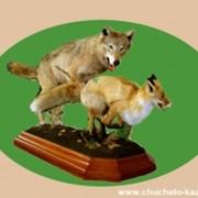 Чучела волка и лисы фото