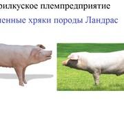 Хряки племенные породы Ландрас. Племенное свиноводство. Разведение свиней. Сперма хряков. фото