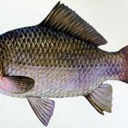 Штучное размножение рыб фото