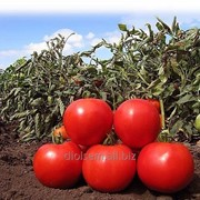 Семена Голд Томат KS 835 F1 фото