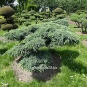 Бонсай Juniperus squamata Blue Carpet Bonsai фото