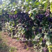 Виноград темно-синий фото