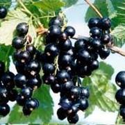Смородина и плодовые деревья в ассортименте фото