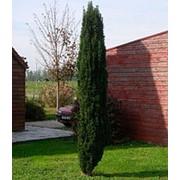 Тис ягодный Фастигиста Робуста (Taxus b. 'Fastigiata Robusta') фото