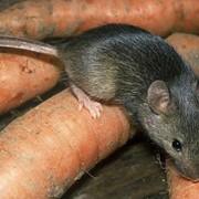 Уничтожение мышей, дератизация фото