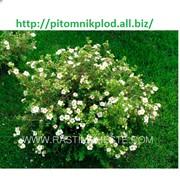 Лапчатка белая кустарниковая, курильский чай фото