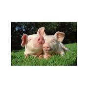 Премикс КС 1-1 – для холостых, ремонтных и супорослых свиноматок фото