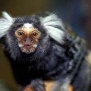 Домашние обезьяны: зеленая мартышка, макака резус, яванская макака, саймири фото