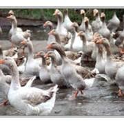 Птицеводство, птицеперерабатывающая промышленность фото