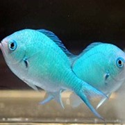 Рыба Хромис сине-зеленый Chromis viridis фото