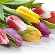 Тюльпаны оптом и мелким оптом к 8 марта фото