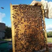 Пчелопакеты карпатской породы 4+1 фото
