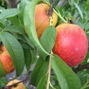 Саженцы персика самоплодного сорта Рубиновый 7 фото