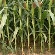 Посевной материал кукурузы фото
