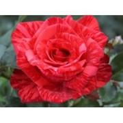 Роза Ред Интуишн фото