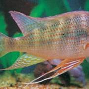 Рыбка аквариумная Цихлазома никарагуанская фото