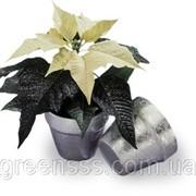 Пуансеттия (молочай красивейший) -- Euphorbia pulcherrima фото