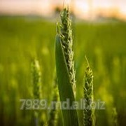 Зерна пшеницы в Кишиневе фото