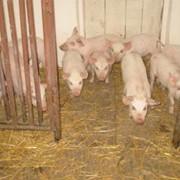 Свиньи, продажа свиней фото