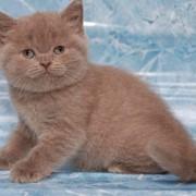 Кошки скоттиш-страйт фото