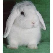 Кролик декоративный фото