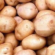 Картофель столовый оптом фото