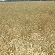 Пшеница озимая сорт Скипетр РС-1 фото