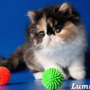 Персидские и экзотические котята. фото